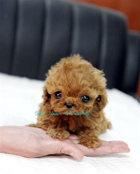 teacup poodle puppies ideas  pinterest micro