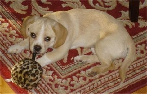 peagle dog breed information  pictures