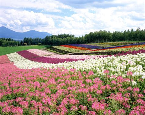 flower japan japan flowers download wallpapers
