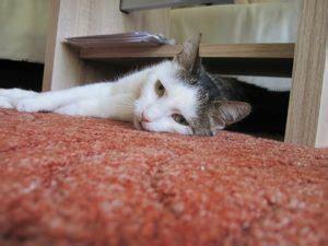 katze pinkelt auf teppich hier bekommst du schnelle hilfe