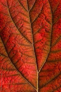 Autumn leaf detail showing surface texture and veins by ...