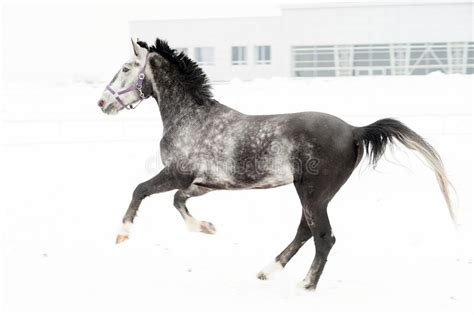 horse andalusian thoroughbred multicolored horizontal motion nursery field gray winter