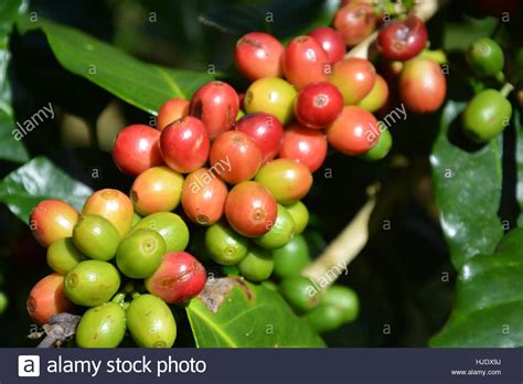 881 businesses available for sale in south africa today on bfs, the world's largest marketplace for buying and selling a business. Robusta Coffee Bean Plant Stock Photo - Alamy