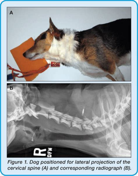 cervical spine lateral canine x ray positioning guide bcf