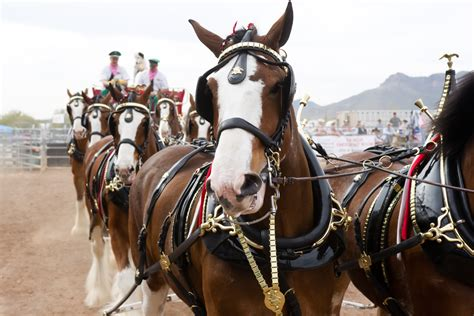 budweiser clydesdales  hold funeral   beers