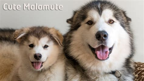 Alaskan Malamute Giving Singing Lessons To Puppy Youtube