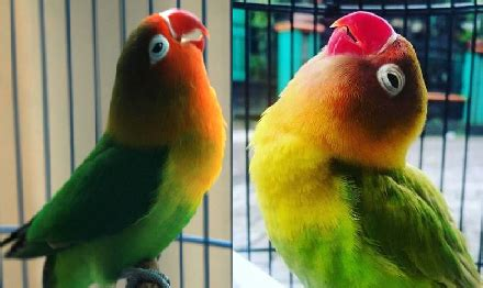 gambar tips ternak burung love bird ampuh cepat buat