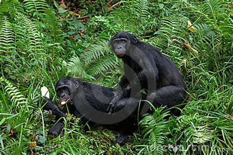 bonobo mating royalty  stock photography image
