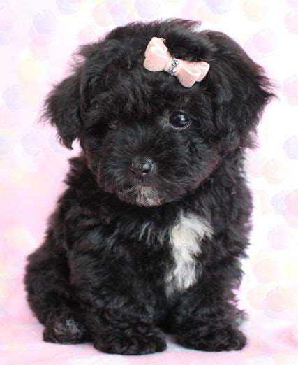 cute toy poodle puppies  south florida