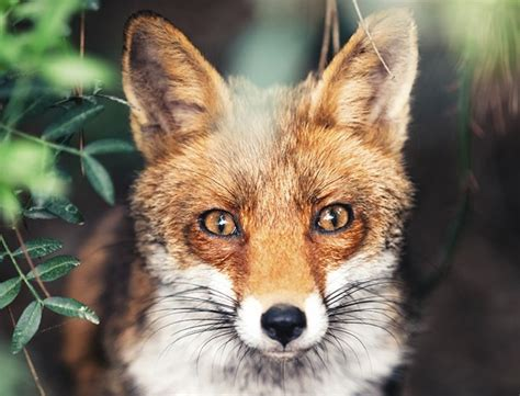paws    facts   knew  foxes