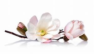 Fleur De Magnolia : fleur fleurie rose de magnolia photo stock image du rose ~ Melissatoandfro.com Idées de Décoration