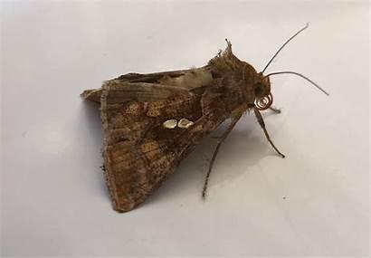 Bezoeken Eriosoma Uilen Vlinder Chrysodeixis Noctuidae Familie