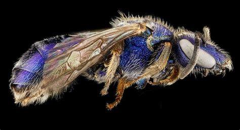 stunning macro   bees courtesy