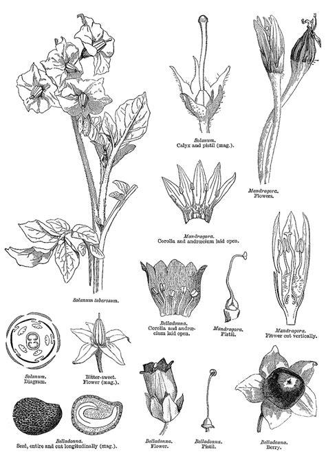 khanoadh trh sb zmnan solanaceae