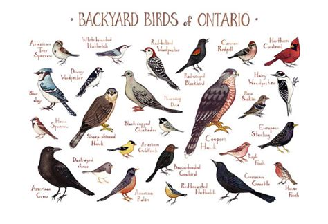 Ontario Backyard Birds Field Guide Art Print / Watercolor