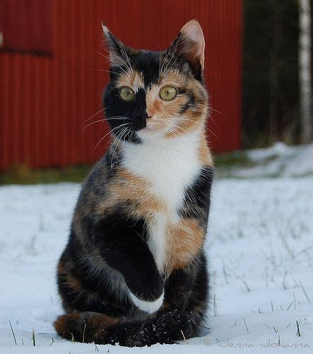 cats calico crazy why