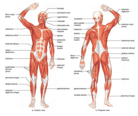 Names Of All Muscles Of The Body  Diagram Body Of Anatomy
