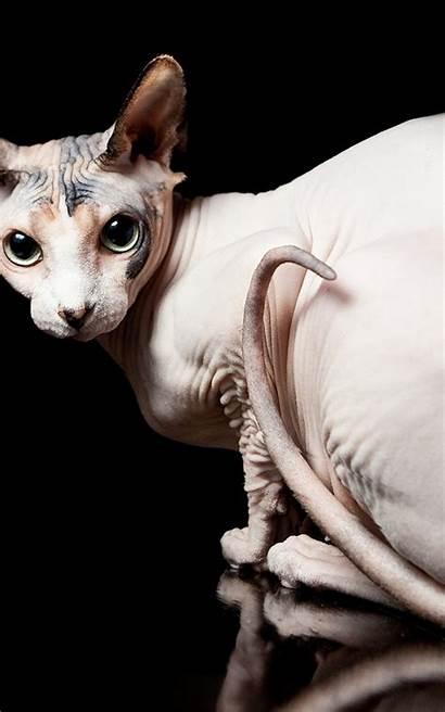 Tablet Cat Sphynx Animals Desktop Cats