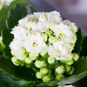 Zimmerpflanze Weiße Blüten : weisse kalanchoe online kaufen bei g rtner p tschke ~ Markanthonyermac.com Haus und Dekorationen