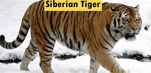 Characteristics Of Siberian Tiger Classification