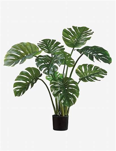 Plants Indoor Plant Split Monstera Philodendron Leaf