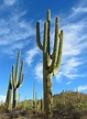 Secret lives of saguaros soon to be revealed   Local news ...