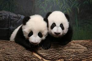 Can cute panda cubs save the Toronto Zoo? - NOW Magazine