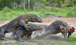 Komodo Dragon: All You Need To Know About Largest Species ...