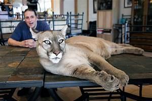 Florida man gets cozy with his pet cougar