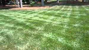 Drought stress on beautiful tall fescue lawn! - YouTube