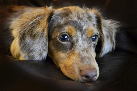 do haired chiweenies shed personality traits of a dachshund chihuahua mix chiweenie