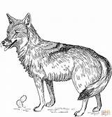 Coyote Coloring Printable Paper sketch template