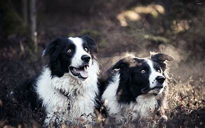 Border Collies Collie Wallpapers Dog Desktop Puppy