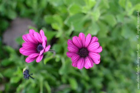 common california flowers fun clicks the pretty pair