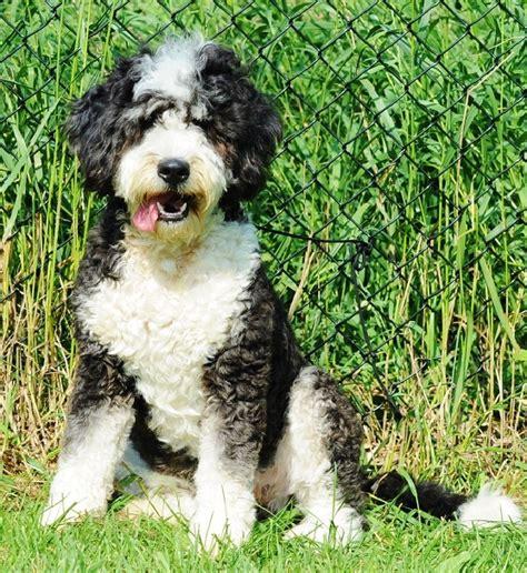bernedoodle info temperament training diet puppies