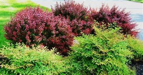 burgundy shrubs and bushes barberry tons of photos on this site shrubs sun pinterest the purple burgundy color