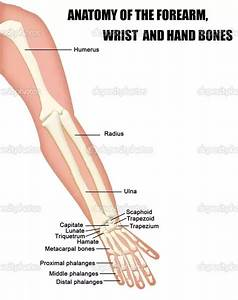 What Are The Two Bones In The Forearm Called
