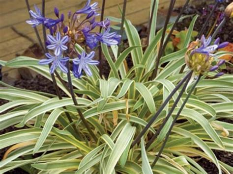 agapanthus variegated agapanthus lily of the nile agapanthus praecox gold strike