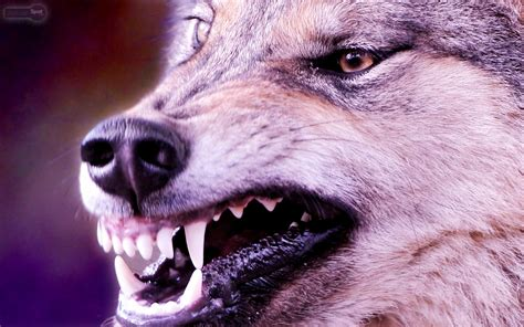Real Scary Wolf Wallpaper by Wallpaper Of Wolves 183 Wallpapertag