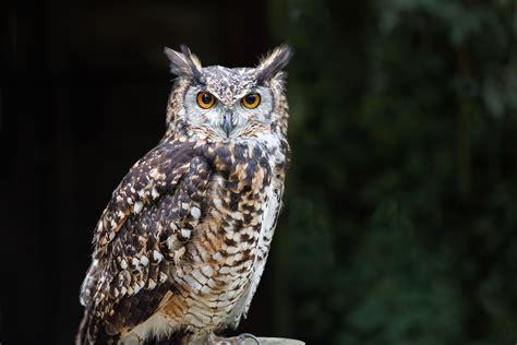 cat kills owl