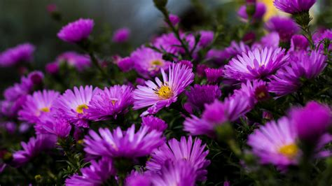 garden plants blossoming  purple aster flowers summer  ultra hd wallpaper  desktop laptop