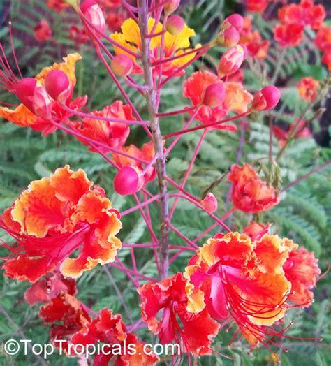 caesalpinia pulcherrima peacock flower barbados pride