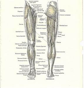 Leg Muscles Diagrams