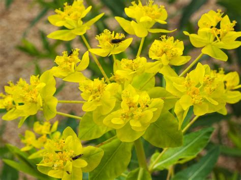 Sumpfwolfsmilch  Euphorbia Palustris  Baumschule Horstmann