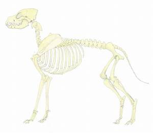 urin hund