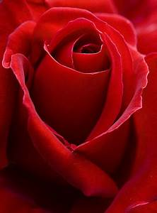 15 Beautiful Red Rose Pictures
