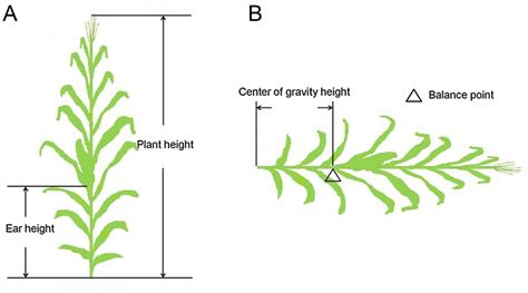 height of plant what is right method of plant height measurement of maize or
