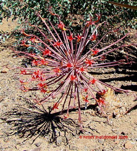 plantfiles pictures josephine s brunsvigia
