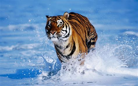 global pictures gallery tigers