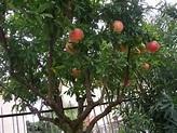 Pomegranate Tree   Edible Garden   Pinterest   Trees and ...